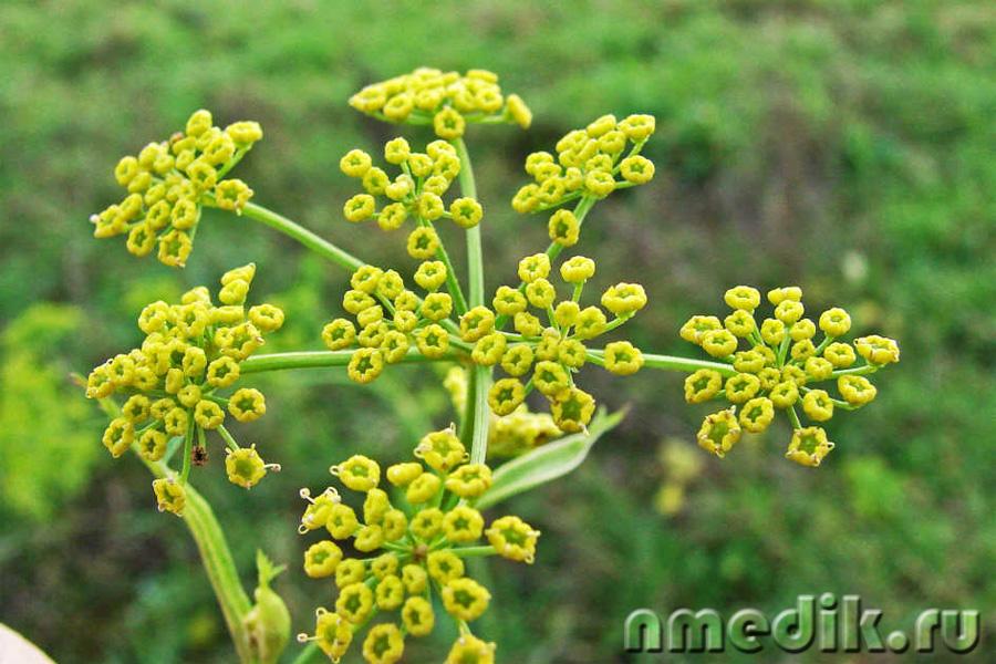 пастернак растение