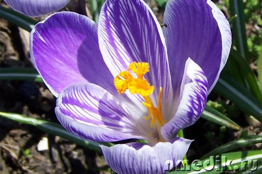 фото растения шафран